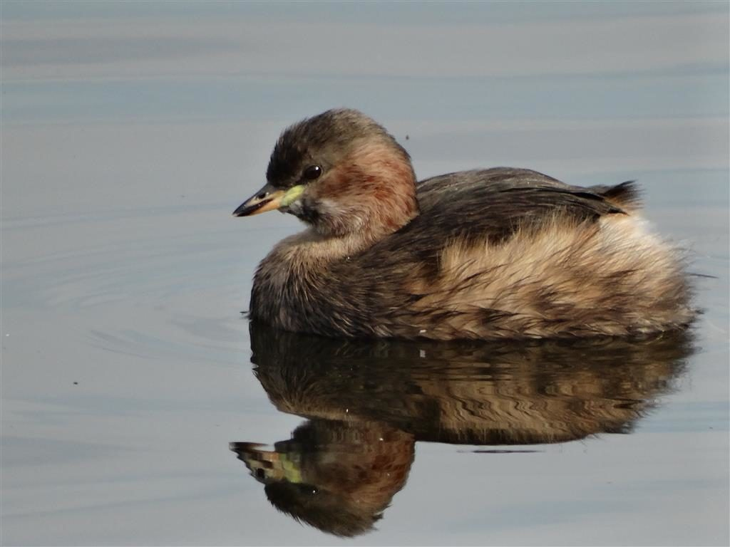 Dodaars, Vogelmeer
