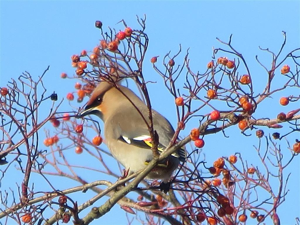 Pestvogel, Hilversum